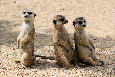 3 meerkats facing different directions, illustrating a way to segment your email list